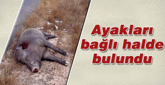 Yol kenarında domuz ölüsü bulundu