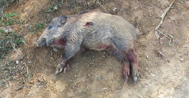 Yola çıkan domuzlara kamyon çarptı