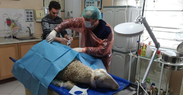 Koyuna sezaryen ameliyatı
