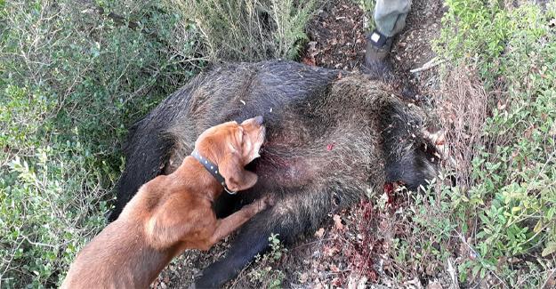 Vurdukları domuzu görünce şok oldular