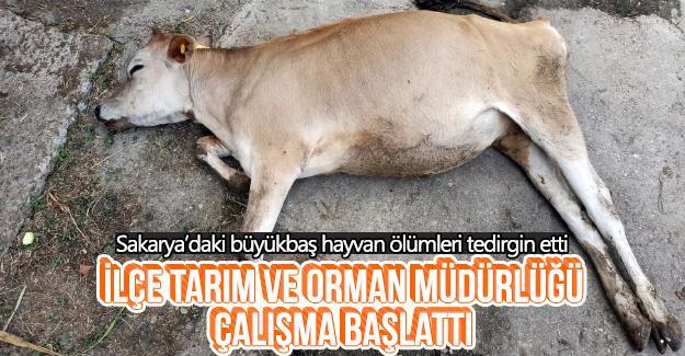 Sakarya'daki büyükbaş hayvan ölümleri tedirgin etti