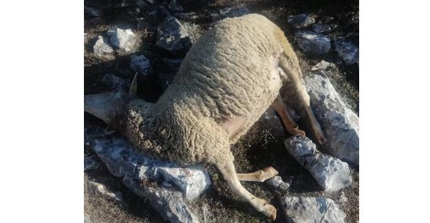 Kurt saldırdı! 14 koyun telef oldu
