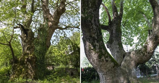 Sakarya'da 1061 ve 451 yaşında iki anıt ağaç bulunuyor