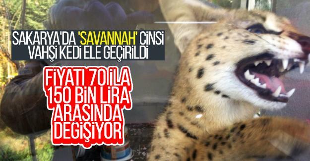 Sakarya'da 'Savannah' cinsi vahşi kedi ele geçirildi