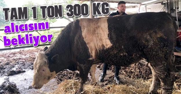 1 ton 300 kiloluk kurbanlık alıcısını bekliyor