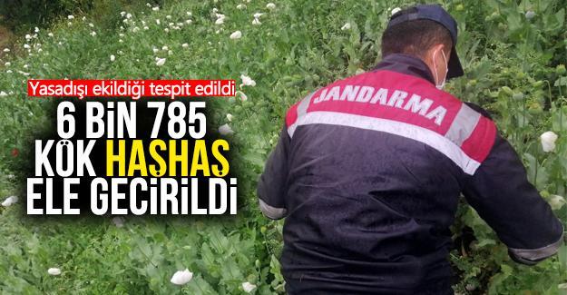 Yasadışı ekilen 6 bin 785 kök haşhaş ele geçirildi