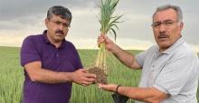 Halis buğday çiftçinin yüzünü güldürdü