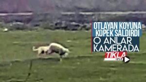 Otlayan koyuna köpek saldırdı