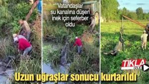 Vatandaşlar su kanalına düşen inek için seferber oldu